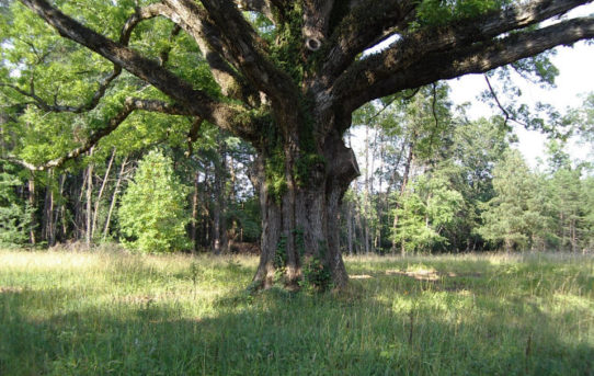 Giant White Oak